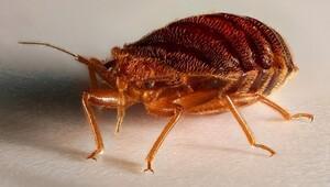 Böcekler şişmanlar mı?