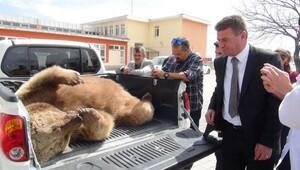 230 kiloluk ayı yemek peşinde öldü