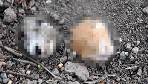 Osmaniye'de 2 yavru kediye ait kesik baş bulundu