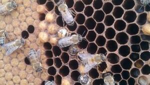 Akraba evliliği yapan arıların genetiği değişti