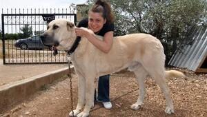 İzmir'e yerleşip 'Anadolu Çoban Köpeği' yetiştirmeye başladılar