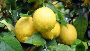 Limon 4 aydır yerinde sayıyor