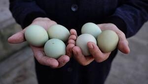 Tavuğu Güney Amerika'dan getirdi, yumurtasını 10 liraya satıyor