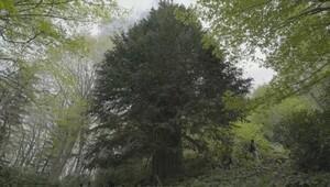 Dünyanın en yaşlı porsuk ağacı Zonguldak'ta bulundu
