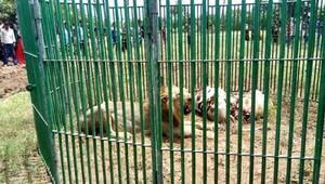 Hindistan'da 18 cinayet şüphelisi aslan 'gözaltında'