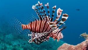 Akdeniz'de 'Aslan balığı' uyarısı