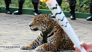 Brezilya'da Olimpiyat etkinliğinde kullanılan jaguar öldürüldü