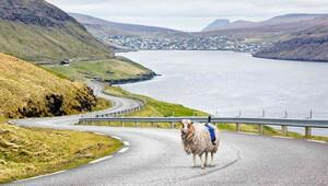 Google, Faroe Adaları'nda koyunlarla işbirliği yapıyor