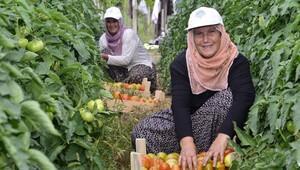 Çamlıyayla domatesinde hasat sevinci