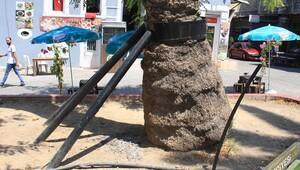 Palmiyeler korunuyor