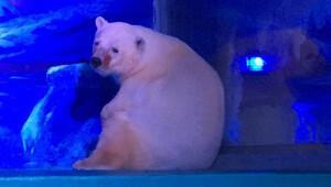 'Dünyanın en mutsuz kutup ayısı' için kampanya