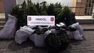 Bingöl'de 577 kilo esrar, 133 bin kök hintkeneviri ele geçti