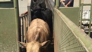 Angus değil 17 bin Brangus sığırı geldi