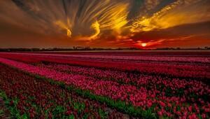 Amsterdamda laleler arasında renklerin büyüsüne yolculuk