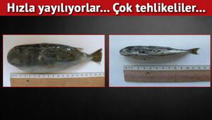 İzmir Körfezi'nde balon balığı tehlikesi...