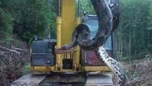 Dev yılanın şoke eden görüntüsü