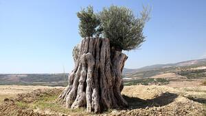 Mucize! 800 yıllık ağaç...