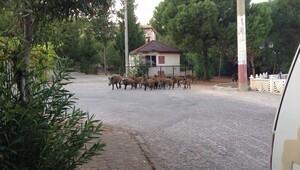 Aç kalan domuzlar şehre indi