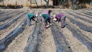 Kadın üreticilere 20 bin çilek fidesi