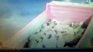 Köpeği zehirli etle öldürüp 38 koyunu çaldılar