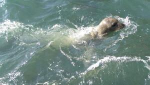 Nesli tükenmekte olan Akdeniz foku, yeniden Kuşadası Körfezi'nde ortaya çıktı