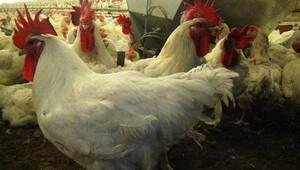 Musul operasyonu tavukçuları vurdu