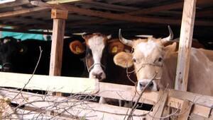 Bulgaristan geri almayınca sınırı geçen 4 inek ortada kaldı