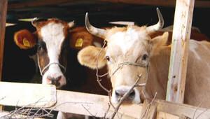 Bulgaristan sınırında inek krizi