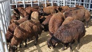 Kelkit'te genç çiftçilere hayvanları dağıtımı başladı