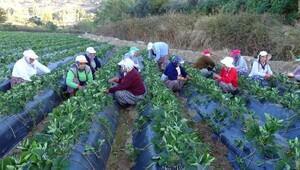 Çilek fideleri kadın işçilerin ellerinde kardeşleniyor