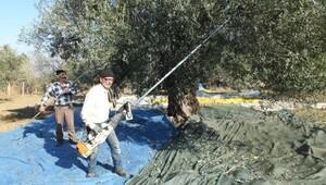 Zeytin hasadında makine kullanımı arttı