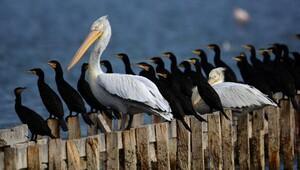 Birincilik ödülü Karabatak ve Pelikan fotoğrafının
