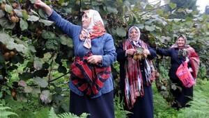 Doğu Karadeniz'de kivi üretimi düştü