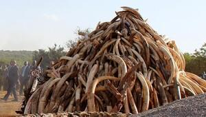 Vietnamda bir ton fil dişi ele geçirildi