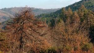Kazdağları'ndaki ormanlarda korkutan hastalık