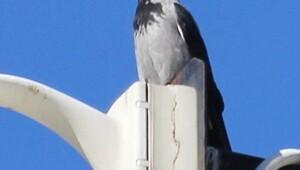 Sakaryada yeni bir kuş türü görüldü