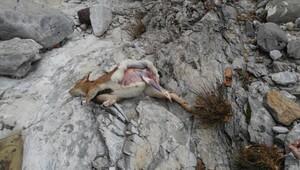 Dağ keçisi avlayan avcılar suçüstü yakalandı