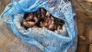 Ayvalıkta 250 kilo deniz patlıcanı ele geçirildi