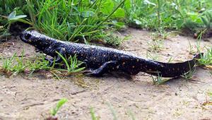 Tuncelide yeni bir kurbağa alt türü bulundu