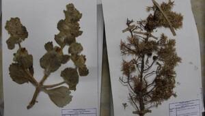 Sivasta 25 bin bitkili Herbaryum