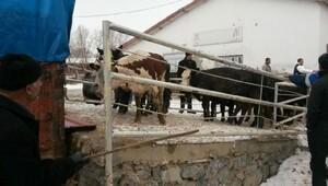 Kahramanmaraşta, 630 damızlık hayvan dağıtıldı