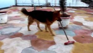 Çırak Dost Yerleri süpüren köpek herkesi şaşırtıyor