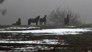 Boluda yılkı atlarına yem bırakıldı