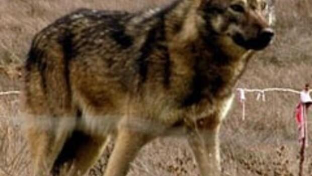'Türk Kurt köpeği' ırkı geliştirildi