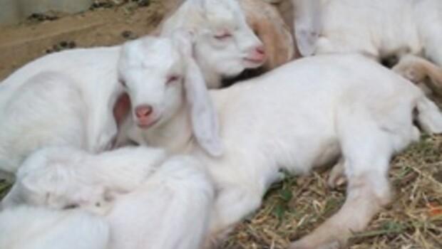 Türkiyenin keçi varlığı artıyor