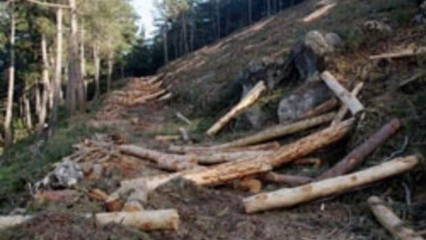 Taş ocakları sedir ağaçlarını yok ediyor
