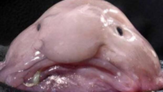 En çirkin hayvan: Damla Balığı