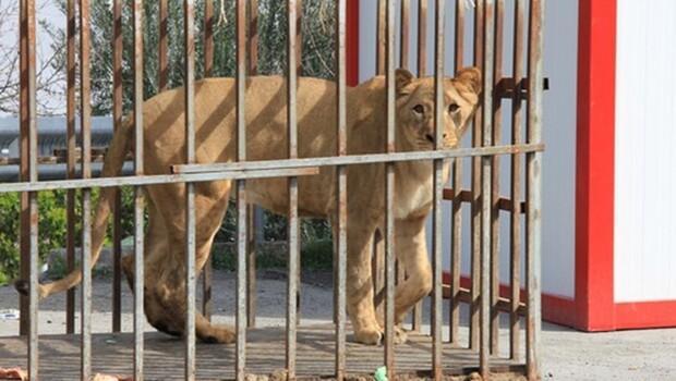 İstanbul'da AVM'de aslan ve ayı bulundu