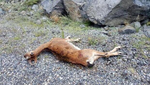 Çoruh Nehri'ne su içmeye inen yaban keçisini vurdular