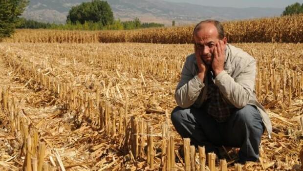 Mısır tarlasında hasat hırsızlığı iddiası